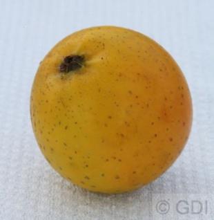 Apfelbaum Ananasrenette 60-80cm - fest und edel
