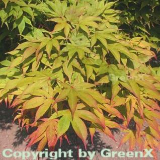 Fächerahorn Osakazuki 100-125cm - Acer palmatum - Vorschau