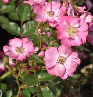 Hochstamm Rose Lupo 60-80cm