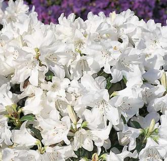Japanische Azalee Dora Amateis 40-50cm - Rhododendron carolinianum