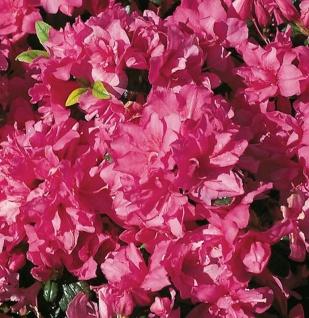 Japanische Azalee Melina 30-40cm - Rhododendron obtusum - Zwerg Alpenrose