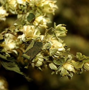 Wilder Hopfen 40-60cm - Humulus lupulus