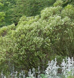 10x Buchsblättrige Strauchveronika - Hebe buxifolia