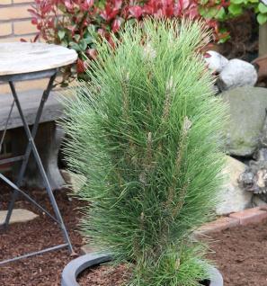 Schwarzkiefer Green Tower 25-30cm - Pinus nigra