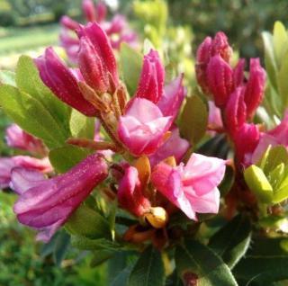 Bewimperte Alpenrose Typ Schnupper 10-15cm - Rhododendron hirsutum