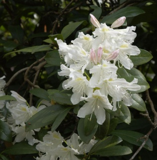 Großblumige Rhododendron Cunningham White 50-60cm - Alpenrose