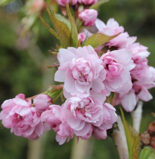 Hochstamm Japanische Hänge Nelkenkirsche 100-125cm - Prunus serrulata