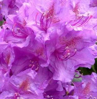 Japanische Azalee Ledikanense 20-25cm - Rhododendron obtusum - Zwerg Alpenrose