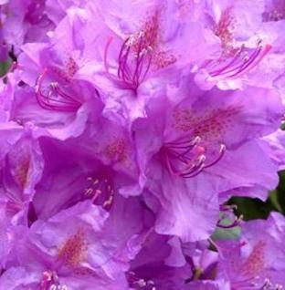 Japanische Azalee Ledikanense 30-40cm - Rhododendron obtusum - Zwerg Alpenrose