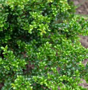 10x Japanische Stechpalme Ilex Green Hedge 10-15cm - ilex crenata