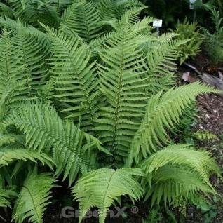 Japanischer Glanzschildfarn Bornim - Polystichum polyblepharum