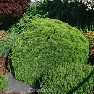 Kugel Lebensbaum Little Gigant 15-20cm - Thuja occidentalis