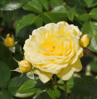 Floribundarose Yellow Meilove 30-60cm