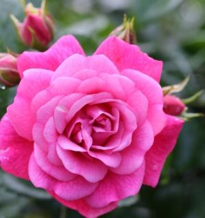 Hochstamm Rose Palmengarten Frankfurt® 40-60cm