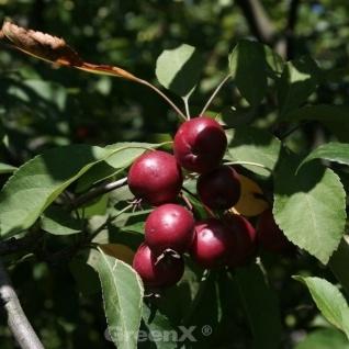 Hochstamm Zierapfelbaum Pom Pom 80-100cm - Malus Hybride