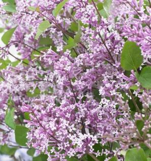 Zwergflieder Flowerfesta® Purpur 100-125cm - Syringa