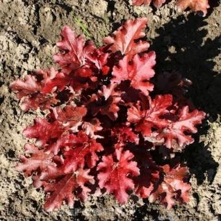 Purpurglöckchen Red Fury - großer Topf - Heuchera sanguinea