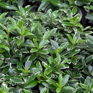 10x Japanischer Spindelstrauch Microphylla Variegata 10-15cm - Euonymus japonicus