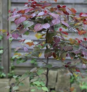 Hochstamm Kanadischer Judasbaum Ruby Falls 80-100cm - Cercis canadensis