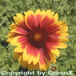 Korkadenblume Kobold - großer Topf - Gaillardia aristata