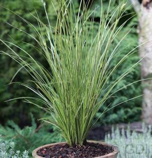 Segge Honymoon - großer Topf - Carex brunnea