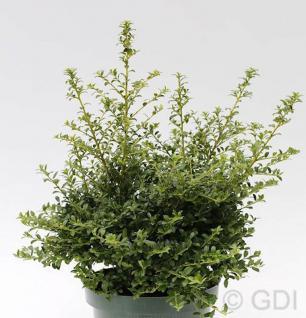 Japanische Stechpalme Ilex Twiggy 25-30cm - Ilex crenata Twiggy