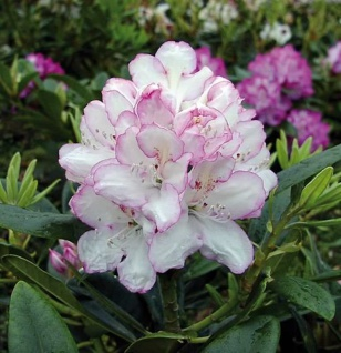 Großblumige Rhododendron Picotee® 60-70cm - Alpenrose