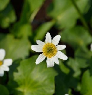 Garten Dotterblume - Caltha leptosepala