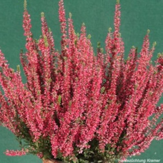 10x Knospenheide Gardengirls Loki - Calluna vulgaris