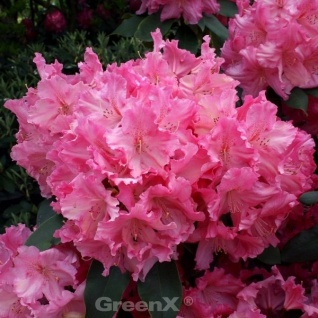 Großblumige Rhododendron Caruso 50-60cm - Alpenrose