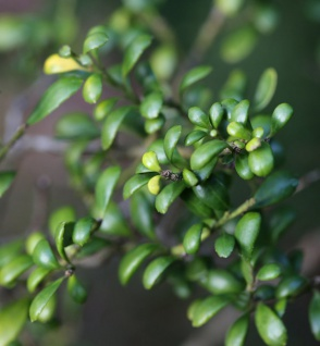 Japanische Stechpalme Edens Paradise® 15-20cm - Ilex crenata