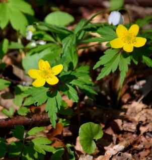 Gelbes Buschwindröschen - Anemone ranunculoides