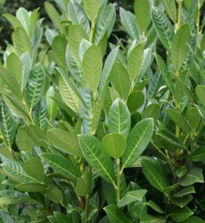 Lorbeerkirsche Greentorch 100-125cm - Prunus laurocerasus