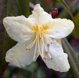Japanische Azalee Adonis 30-40cm - Rhododendron obtusum - Zwerg Alpenrose
