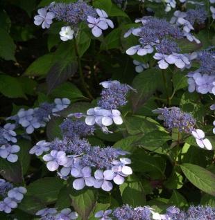 Teller Hortensie Bluebird 30-40cm - Hydrangea serrata