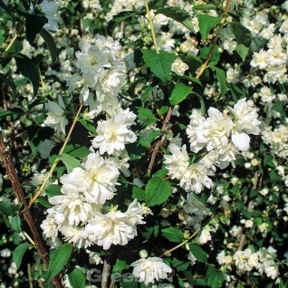 Zwerg Jasmin Little White Love® 30-40cm - Philadelphus coronarius