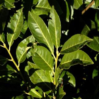 Lorbeerkirsche Greenpeace 80-100cm - Prunus laurocerasus