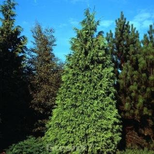 Gelbe Nootka Scheinzypresse Aurea 40-60cm - Chamaecyparis nootkatensis