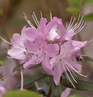 Rhododendron davidsonianum 50-60cm