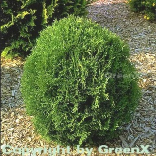 Lebensbaum Tiny Tim 20-25cm - Thuja occidentalis