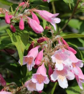 Perlmuttstrauch Pink Cloud 80-100cm - Kolkwitzia amabilis