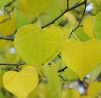 Kanadischer Gold Judasbaum 80-100cm - Cercis canadensis