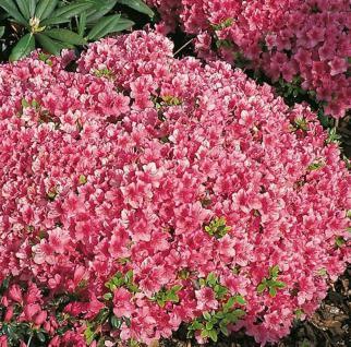 Japanische Azalee Michiko 20-25cm - Rhododendron obtusum - Zwerg Alpenrose