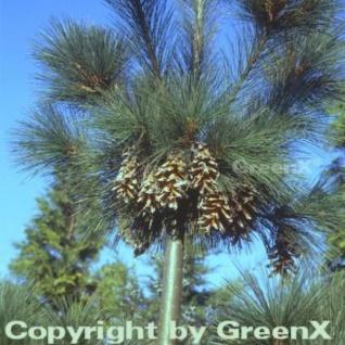 Schwerin Kiefer 100-125cm - Pinus schwerinii