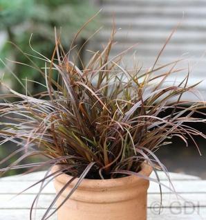 Australisches Feuergras 2 bis 4 L Topf - Uncinia rubra
