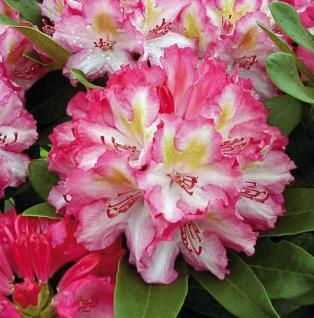 Großblumige Rhododendron Guyens Fasching 40-50cm - Alpenrose