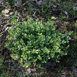 Stechpalme Ilex Eurotal 10-15cm - ilex crenata