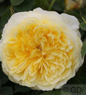 Englische Rose The Pilgrim® 30-60cm
