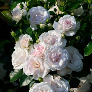 Floribundarose Aspirin Rose® 30-60cm