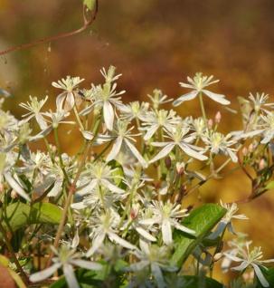 Sternenförmige Waldrebe 60-80cm - Clematis paniculata